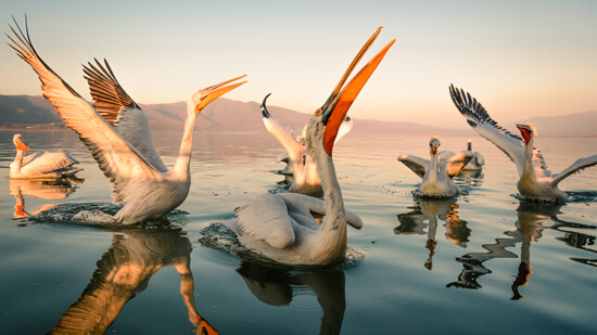 Pelicans at Kerkini Lake | Hotel Villa Sevasti